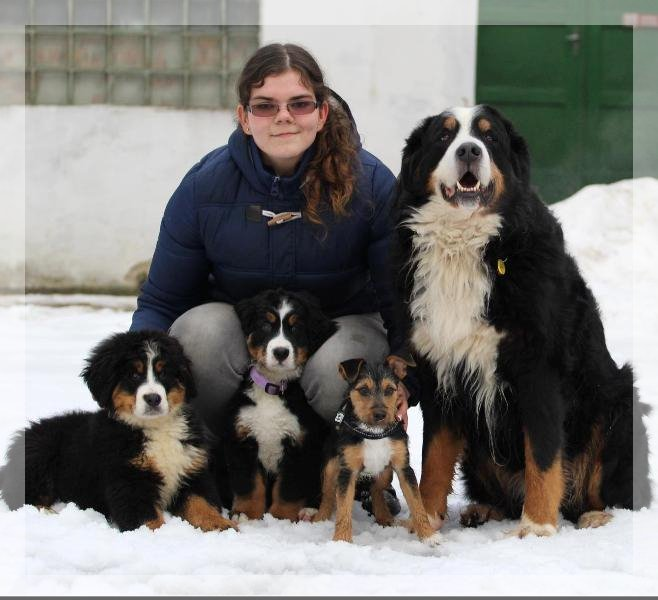 berner sennenhund Demure in the new family