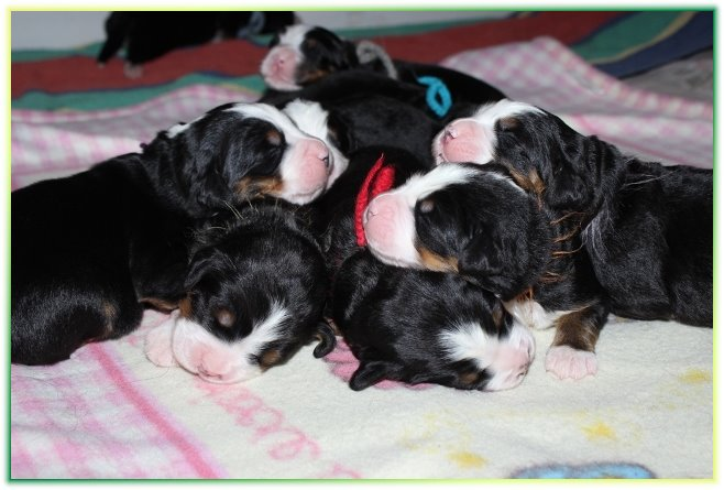 bernese mountai dog M litter