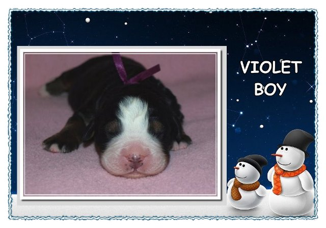 violet boy kennel Brizo